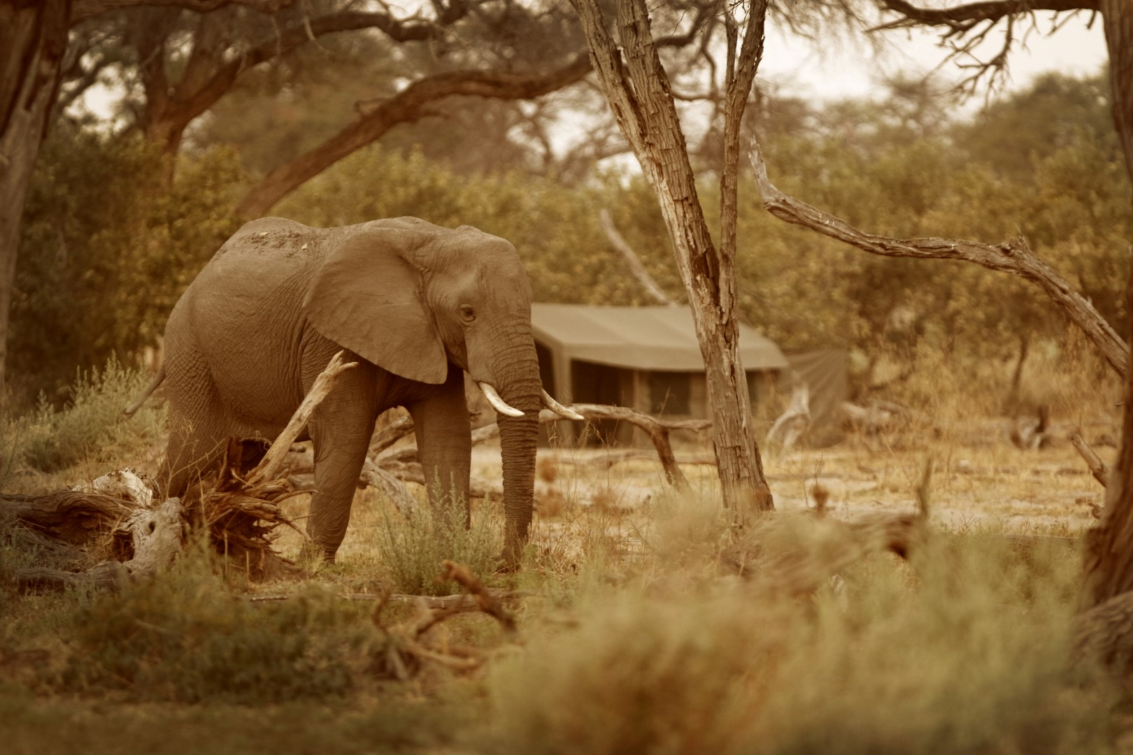 Elephant Tent Sepia 209323 (Large)