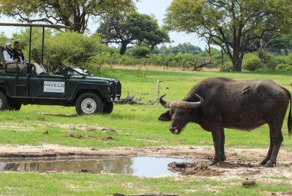 136 - Imvelo Safari Lodges - Camelthorn - Buffalo cow and yellow billed oxpecker